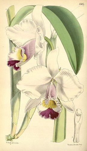 347px-Cattleya_candida_(as_Cattleya_quadricolor)_-_Curtis'_91_(Ser._3_no._21)_pl._5504_(1865).jpg