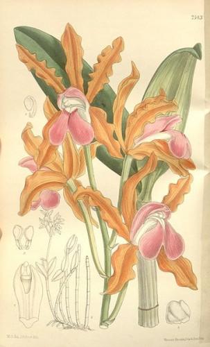 363px-Cattleya_elongata_-_Curtis'_123_(Ser._3_no._53)_pl_7543_(1897).jpg